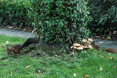 Eichhörnchen 026_Web-compressed (berni.radke) Tags: eichhörnchen sciurus baumhörnchen sciurini eurasischeseichhörnchen scoiattolo eekhoorn squirrel écureuil wiewiórka egern