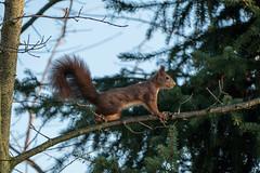 Eichhörnchen 019_Web-compressed (berni.radke) Tags: eichhörnchen sciurus baumhörnchen sciurini eurasischeseichhörnchen scoiattolo eekhoorn squirrel écureuil wiewiórka egern