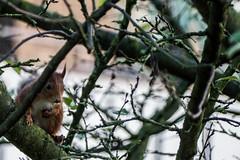 Eichhörnchen 016_Web-compressed (berni.radke) Tags: eichhörnchen sciurus baumhörnchen sciurini eurasischeseichhörnchen scoiattolo eekhoorn squirrel écureuil wiewiórka egern