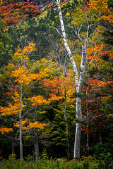 Appalachin Trail detour (FotoFloridian) Tags: autumn beautyinnature colors forest goldcolored hartslocation leaf lushfoliage mapletree multicolored newhampshire october orangecolor outdoors red scenics season sony tree whitemountains woodland yellow a6400 alpha landscape nature