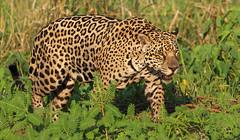 Happy Caturday (AnyMotion) Tags: jaguar pantheraonca onçapintada cat cats katzen katze 2019 anymotion sãolourençoriver pantanal matogrosso brazil brasilien southamerica südamerika américadosul travel reisen animal animals tiere nature natur wildlife 7d2 canoneos7dmarkii ngc npc