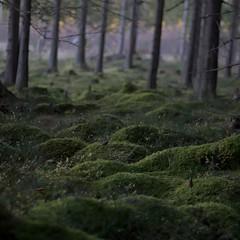 Underwood (Stefano Rugolo) Tags: stefanorugolo pentax k5 pentaxk5 smcpentaxm50mmf17 kmount depthoffield underwood undergrowth moss tree forest autumn landscape sweden manualfocuslens manualfocus manual