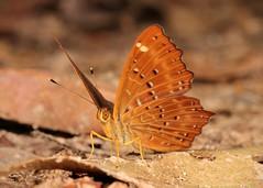 Punchinello (Zemeros flegyas, Riodinidae) (John Horstman (itchydogimages, SINOBUG)) Tags: insect macro china yunnan itchydogimages sinobug entomology canon butterfly lepidoptera riodinidae tumblr