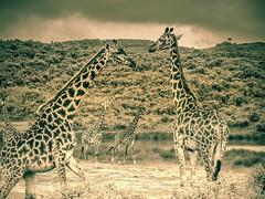 TARANGIRE GIRAFFE (eliewolfphotography) Tags: giraffe giraffes animals african landscapes nature naturelovers nikon naturephotography natgeo naturephotographer natgeowild wildlife wildlifephotographer wildlifephotography safari tanzania travel tarangire tarangirenationalpark