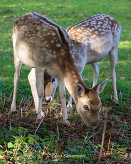 Fallow Deer (wemdkgfq86) Tags: deer animals wildlife ashton court