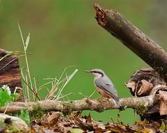 sittelle torchepot (valeriekling) Tags: oiseau passereau sittelle faune jura photo sauvage animalière