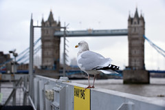 London 29 October 2019 006 (paul_appleyard) Tags: seagull gull tower bridge london october 2019