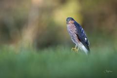 Sparrowhawk (andy_harris62) Tags: sparrowhawk wildlife wildlifephotography nikond850 nikkor300mmf28 nikon nature naturephotography bird outside outdoors birdofprey