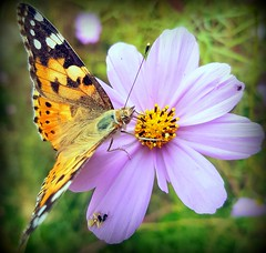 Life on the flowers (Ioannis Ks) Tags: butterfly cosmos flower spider insects garden nature crete