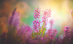 Heather (Dhina A) Tags: sony a7rii ilce7rm2 a7r2 a7r tamron sp 350mm f56 tamronsp350mmf56 prime ad2 adaptall2 mirrorlens 06b catadioptric reflex cf tele macro manualfocus bokeh lens heather flower autumn