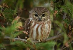 Northern Saw-Whet Owl (aj4095) Tags: northern saw whet owl nature wildlife outdoor ontario canada november bird nikon