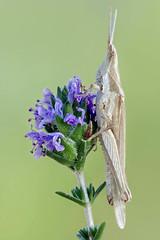 Pyrgomorpha conica (Raul Espino) Tags: 2019 canon100mml canon6dmarkii heliconfbtube macro macrofotografia natural naturaleza sevilla pyrgomorphaconica insectos