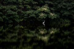 水鏡の上 #4ーOn a glassy surface of water #4 (kurumaebi) Tags: yamaguchi 秋穂 山口市 nikon d750 nature landscape birds 鳥 アオサギ サギ 反射 reflection
