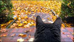 Fallen Leaves Abound (Timothy Valentine) Tags: foliage autumn quinnomannion 1019 happycaturday home 2019 camera2 cat eastbridgewater massachusetts unitedstatesofamerica