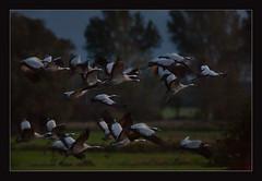 takeoff right after sunset (Dieter Gora) Tags: grusgrus takeoff sunset birdsinflight commoncrane kranichtrupp