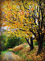 Autumn path........... (Jason 87030) Tags: daventry northants northamptonshire path pathway walk town centre local tree laf leaves golden brown red trunk scene fall season autumn color colour shot november 2019