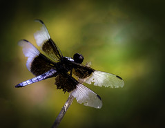 Widow Skimmer Dragon Fly (Marie Brown Cottage Garden) Tags: widowskimmerdragonfly dragonfly bokeh nikon d850 micro macro artlens mariebrowntexture