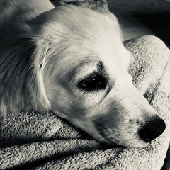Pinky the puppy (Urbanmutant) Tags: dogs puppies goldenretriever golden retriever iphone mono