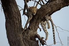 Lazy Cat (leendert3) Tags: leonmolenaar southafrica krugernationalpark wilderness wildlife wildanimal nature naturereserve naturalhabitat mammal africanleopard ngc coth5 npc
