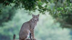 Bobcat (toryjk) Tags: wildcat cat nature wild bobcat eye wildlife