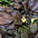 Schmetterling im Gunung Mulu Nationalpark, Borneo