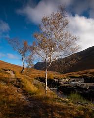 Silver Birches, Glen Etive, Scotland (S.R.Murphy) Tags: glenetive highlands landscape lochetive oct2019 scotland tree trees nature naturephotography silverbirch 5x4crop lightroomcc stuartmurphy fujifilmxt2 lee06ndgrad ngc dalness fujifilmxf1024mm