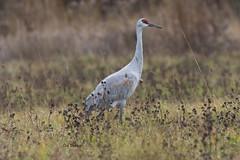 Sandhill Crane (Grus canadensis) (stitchersue) Tags: crane sandhillcrane gruscanadensis migration feeding staging kawarthalakes ontario canada