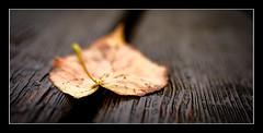 Autumn has fallen (1 of 1)-2 (ianmiddleton1) Tags: leaf autumn fall panorama