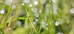 still dewy sunny morning here today (conall..) Tags: nikon afs nikkor f18g lens 50mm prime primelens nikonafsnikkorf18g closeup raynox dcr250 macro county down tullynacree nw551041 annacloy field northernireland drop drops droplets dew gota gotas