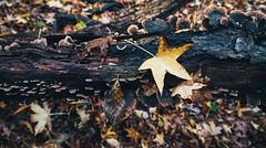 🍄 La nature 🍁 (0sire) Tags: nature fall autumn leaves tree bark mushroom yellow