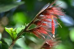 Exciting fuzzy Sanchezia sanmartinensis (jungle mama) Tags: sanchezia red fuzzy flower tropicalflower fairchildtropicalbotanicgarden fairchildgarden susanfordcollins