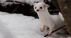 Weasel (Timo Airaksinen) Tags: weasel nature naturephotos naturephotography naturephoto wildlife wildlifephotography finland suomi suomenluonto sony