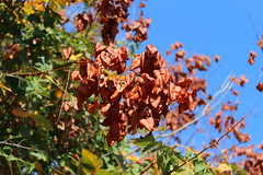 Autumn ~ Brown (Argyro Poursanidou) Tags: nature colorful broun leaves blue brown green foliage sky autumn φθινόπωρο φύση φύλλα