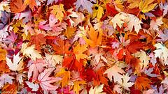 """""""All the Leaves are Down"""" (Jim Frazier) Tags: 2019 elgin abstract autumn background browns carpet cloudy color colorfield curtain dead death desktop edgewater fall fallcolor fieldtrip flora foliage il illinois jimfraziercom kane kanecounty leaf leaves loadcode201911 natural nature november plants powerpoint q3 red sizeover1000 texture tosave trees wall wallpaper warmtones f10 fastpictures f20 edgewaterwalks"""