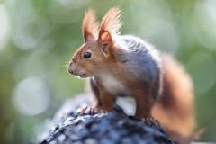 In profile (Joachim Dobler) Tags: eichhörnchen eichhoernchen squirrel écureuil ardilla scoiattolo equito nature natur nagetier wildlife animal cute naturephotography squirrellove wildlifephotography bestsquirrel nutsaboutsquirrels cuteanimals
