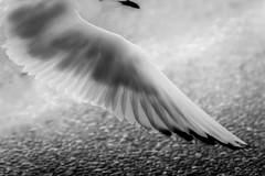 Radiographie (PhlippeC.) Tags: mouette oiseau noiretblanc blackwhite monochrome aile wing seagull