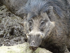 For Andrea (stuforky) Tags: wartypig pig mammal