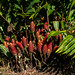 Ingwergewächse (Zingiberaceae) - Gunung Mulu Nationalpark, Borneo