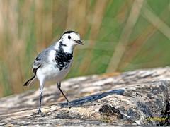 Lavandera blanca (Motacilla alba) (15) (eb3alfmiguel) Tags: aves pájaros insectívoros lavandera blanca motacilla alba passeriformes motacillidae