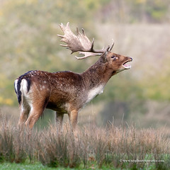 Fallow deer (My Planet Experience) Tags: fallow deer damadama buck male call calling rut antlers stag ungulate ruminant wild wildlife mammal animal nature natural nopeople day outdoors square myplanetexperience wwwmyplanetexperiencecom specanimal specanimalphotooftheday