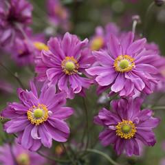 Abondance **--- ° (Titole) Tags: anémonedujapon pink flowers parcbotaniquedecornouaille combrit squareformat titole nicolefaton thechallengefactory