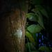 Pyrops intricata oder Pyrops candelaria (Laternenkäfer sp.) - Mulu Nationalpark, Borneo, Malaysia