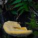 Pilz im Gunung Mulu Nationalpark, Borneo