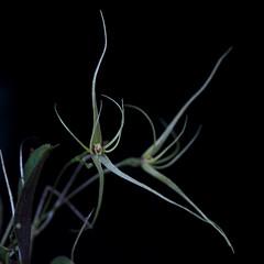 Lepanthes filamentosa (Thomas Ditlevsen) Tags: orchids orchid orquidea orchidspecies orchidaceae lepanthes orquideas lepanthesfilamentosa miniatureorchid pleurothallidinae