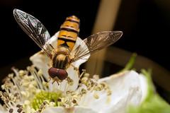 With Seagulls - _TNY_1396 (Calle Söderberg) Tags: macro canon canon5dmkii canoneos5dmarkii canon5dmarkii 5d2 canonef100mmf28lmacroisusm raynox dcr250 flash godox thinklite tt685c plåtdiffusorv3 insect diptera fly hoverfly marmaladehoverfly syrphidae episyrphus balteatus flyttblomfluga blomfluga compoundeyes blackbackground syrphinae syrphini orange f22