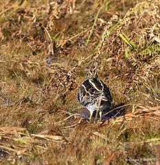 Wilson's Snipe_8860_00001-001 (Henryr10) Tags: ellislake ellislakewetlands westchesteroh ohio usa avian bird vogel ibon oiseau pasare fågel uccello tékklistar wilsonssnipe snipe gallinagodelicata gallinago shorebird wisn