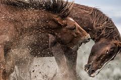 MUSTANG GRIT (WilsonAxpe) Tags: mustang wildhorses dominancebattle sandwashbassin