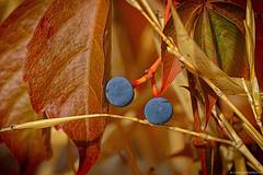 Autumn rhapsody…  ♫•*¨*•.¸¸♪ (Mona Zimba) Tags: autumn parthenocissus quinquefolia berries virginia creeper saariysqualitypictures naturesfinest