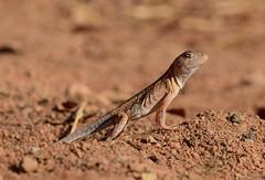 Madagascar sand lizard (Chalarodon madagascariensis) (johco266) Tags: madagascarsandlizard chalarodonmadagascariensis madagascar zombitse lizard hagedis lagarto lézard reptielen reptile reptiles nature natuur natur naturaleza macro macrophotography nikon naturebynikon coth coth5