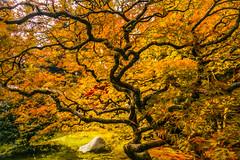 Autumn Blaze (Cole Chase Photography) Tags: japanesemaple seattle washington october fall